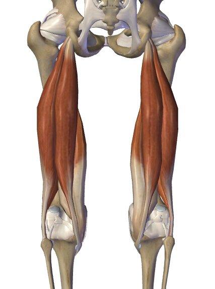 hamstrings muscle anatomy